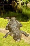 American alligator out of the water. American alligator Latin name alligator mississippiensis out of the water on land Stock Photos