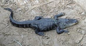 American alligator 1 Stock Photos