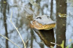 American alligator lifts his head out of water Stock Images