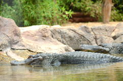 American alligator in Loro Park in Puerto de la Cruz on Tenerife, Canary Islands Stock Image