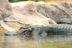 American alligator in Loro Park in Puerto de la Cruz on Tenerife, Canary Islands Royalty Free Stock Photos
