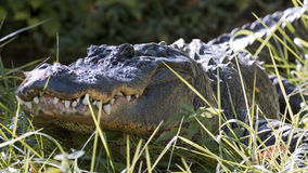 American alligator lurking. Close up portrait of an American alligator lurking in tall grass Royalty Free Stock Photo