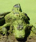 American Alligator lurking 13 royalty free stock image