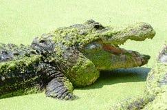 American Alligator lurking  7. American Alligator in the wild Florida Stock Photo