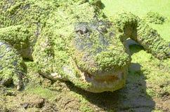 American Alligator lurking  9. American Alligator in the wild Florida Stock Photography