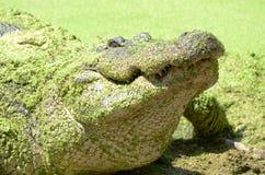 American Alligator lurking  12. American Alligator in the wild Florida Stock Image