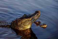 American alligator. Male american alligator courtships with the female Stock Photos