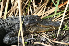 The American Alligator Royalty Free Stock Images