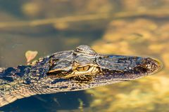 American alligator Alligator mississippiensis. The American alligator Alligator mississippiensis is endemic to the southeastern United States of America Royalty Free Stock Photography