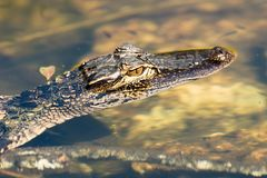 American alligator Alligator mississippiensis. The American alligator Alligator mississippiensis is endemic to the southeastern United States of America Royalty Free Stock Images