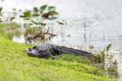 American alligator Alligator mississippiensis. The American alligator Alligator mississippiensis is endemic to the southeastern United States of America Royalty Free Stock Photo