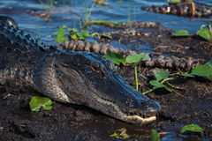 American alligator A. mississippiensis. In the Everglades National Park, Florida, USA Stock Photos