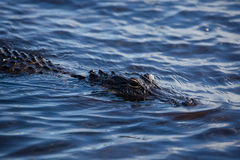 American alligator A. mississippiensis. In the Everglades National Park, Florida, USA Royalty Free Stock Photo