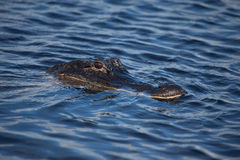 American alligator A. mississippiensis. In the Everglades National Park, Florida, USA Royalty Free Stock Photos