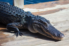 American alligator A. mississippiensis. In the Everglades National Park, Florida, USA Royalty Free Stock Image