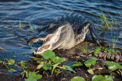 American alligator A. mississippiensis. In the Everglades National Park, Florida, USA Stock Photography