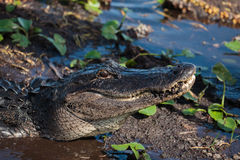 American alligator A. mississippiensis. In the Everglades National Park, Florida, USA Stock Image