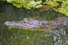 A american alligator alligator mississippiensis in Largo, Florida Stock Photography