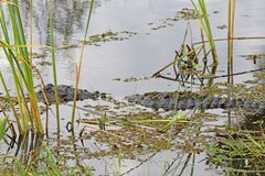 American alligator alligator mississippiensis lurking at the edge of a lake Stock Photo