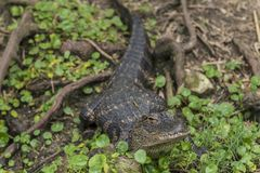 American alligator Alligator mississippiensis. The American alligator Alligator mississippiensis, sometimes referred to colloquially as a gator or common Stock Photography