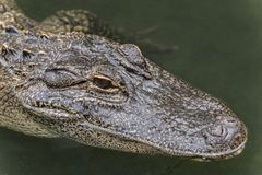 American alligator Alligator mississippiensis. The American alligator Alligator mississippiensis, sometimes referred to colloquially as a gator or common Royalty Free Stock Photography