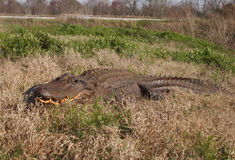 Alligator in the Wild Royalty Free Stock Image