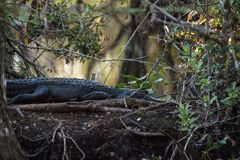 American alligator Alligator mississippiensis suns itself. On a fallen pond cypress tree in the Corkscrew Swamp Sanctuary in Naples, Florida Stock Photo