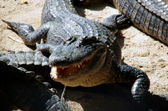 American alligator with mouth open. An american alligator is facing the viewer with it's mouth open, laying in the sunshine with other gators Stock Image