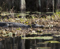 American alligator in natural habitat Stock Photo