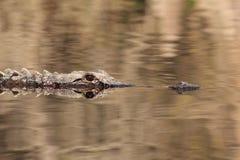 American Alligator - Okefenokee Swamp. American Alligator (Alligator mississippiensis) swimming on the Suwannee River - Okefenokee Swamp Wildlife Refuge, Georgia Royalty Free Stock Photos