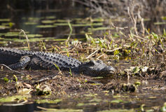 American alligator in the Okefenokee Stock Photo