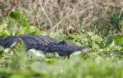 American Alligator, Okefenokee Swamp National Wildlife Refuge Royalty Free Stock Image