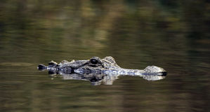 American Alligator, Okefenokee Swamp National Wildlife Refuge. Swimming submerged American Alligator, camouflage, Canoe Kayak Trail in Okefenokee Swamp National Stock Photo