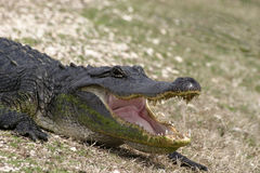 American alligator open mouth. A closeup of an american alligator with mouth open Stock Images