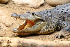 American Alligator with open mouth on a sand Stock Photos