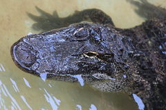 American Alligator. These are photos of alligators taken in Florida Stock Photos