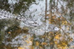 American alligator. A picture of an american alligator in the everglades stock photo