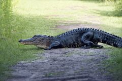 American alligator poops on a trail. Large American alligator poops on a trail Stock Image