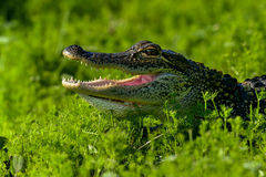 American alligator. Portrait, viera wetlands Stock Photos