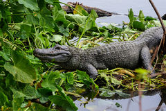 American alligator. Resting on the marsh Royalty Free Stock Image