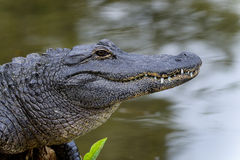 American alligator. Resting on the marsh Stock Image
