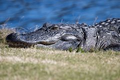 Alligator resting in the sun. American alligator resting in the North Carolina sunshine royalty free stock photos