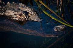 American alligator's head Royalty Free Stock Images