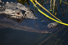 American alligator's head in the water Stock Photos