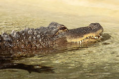 American Alligator in shadow Royalty Free Stock Photography