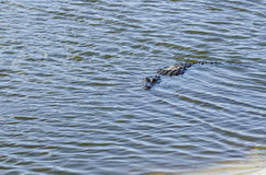 American alligator in shallows Stock Photo