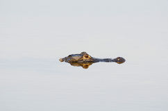 American alligator in still water Stock Photography