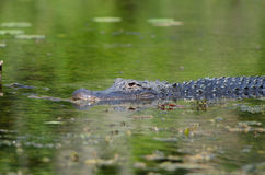 American alligator in still water Royalty Free Stock Image