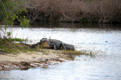 American alligator strolling. American Alligator in Florida strolling into the river Royalty Free Stock Image