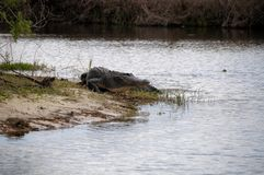 American alligator strolling. American Alligator in Florida strolling into the river Stock Image